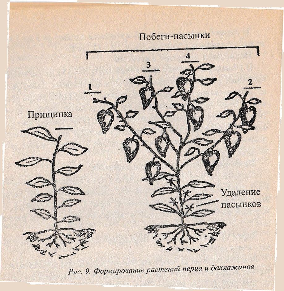 Выращивание тыквы прищипывание 56
